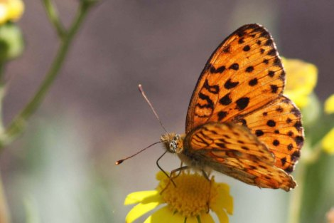 Lesser_fiery_copper_Lycaena_thersamon_(female)